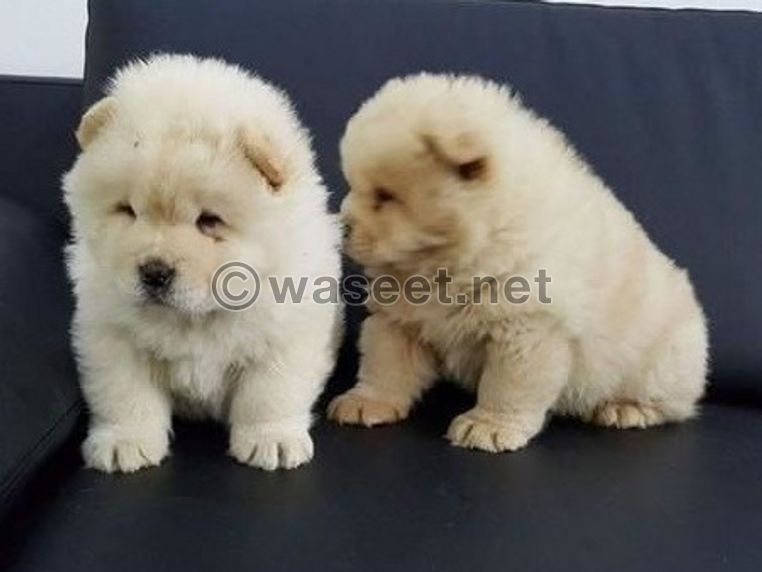 Chow chow puppies available for sale 0