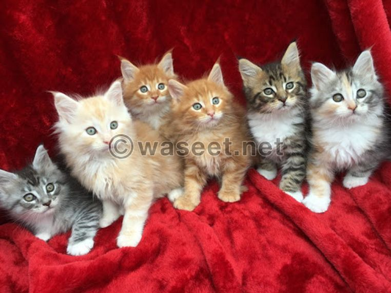 Pure Breed Maine Coon Kittens for sale 0