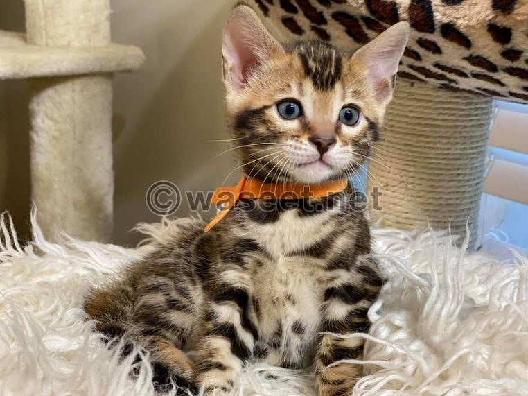 male and female Bengal kittens for sale 0