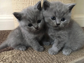 Gorgeous British Shorthair Kittens for sale 12