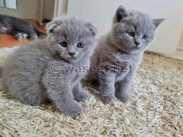 Adorable Scottish Fold Kittens for sale 0