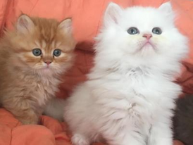 Cute Persian Kittens for sale 13