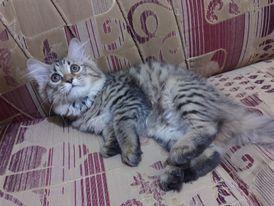 قطه شيرازي لعمر ٧٥ يوم
