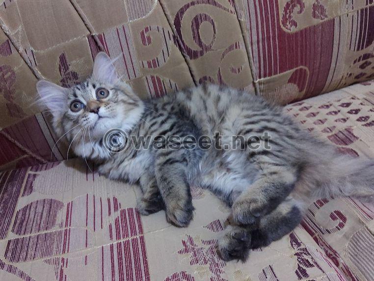 قطه شيرازي لعمر ٧٥ يوم 0