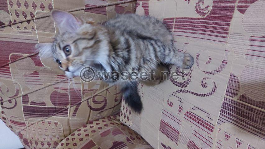قطه شيرازي لعمر ٧٥ يوم 1