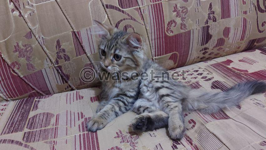 قطه شيرازي لعمر ٧٥ يوم 3