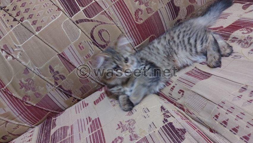 قطه شيرازي لعمر ٧٥ يوم 4
