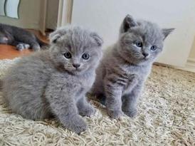 Scottish Fold Kittens for sale 12