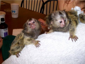 Male and female  Marmoset  Monkeys for Sale 1