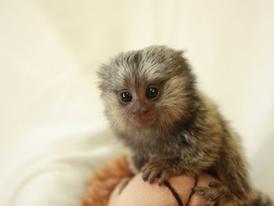House trained   Marmoset  Monkeys for Sale