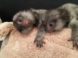 Classic   Marmoset  Monkeys for Sale
