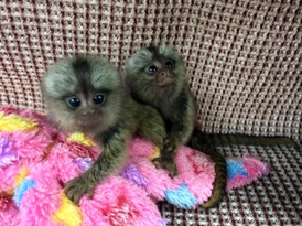 Top Class   Marmoset  Monkeys for Sale