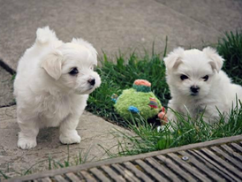 Male and Female Maltese puppies for sale 13