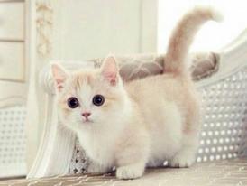 Precious Munchkin  Kittens for sale 8