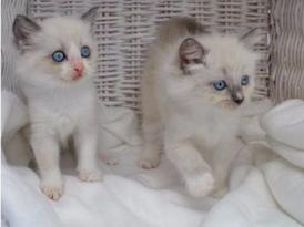 Sweet Ragdoll Kittens for sale 9