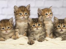 Siberian Kittens for sale 7
