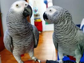 Precious African Grey Parrots for sale 15