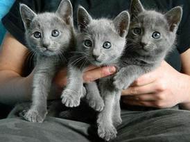 Lovely Russian Blue Kittens for sale 12