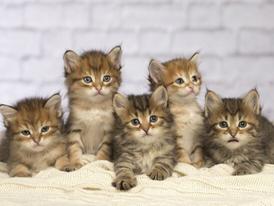 Siberian Kittens for sale 13