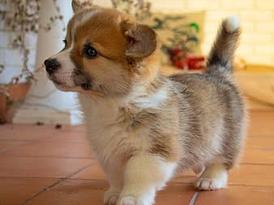 Lovely Pembroke Welsh Corgi Puppies For Sale 13