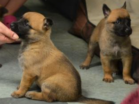 Belgian Malinois Puppies For Sale 15