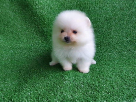Cream and  white Poms puppys for sale 2
