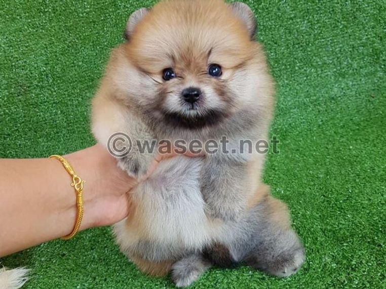Cream and  white Poms puppys for sale 0