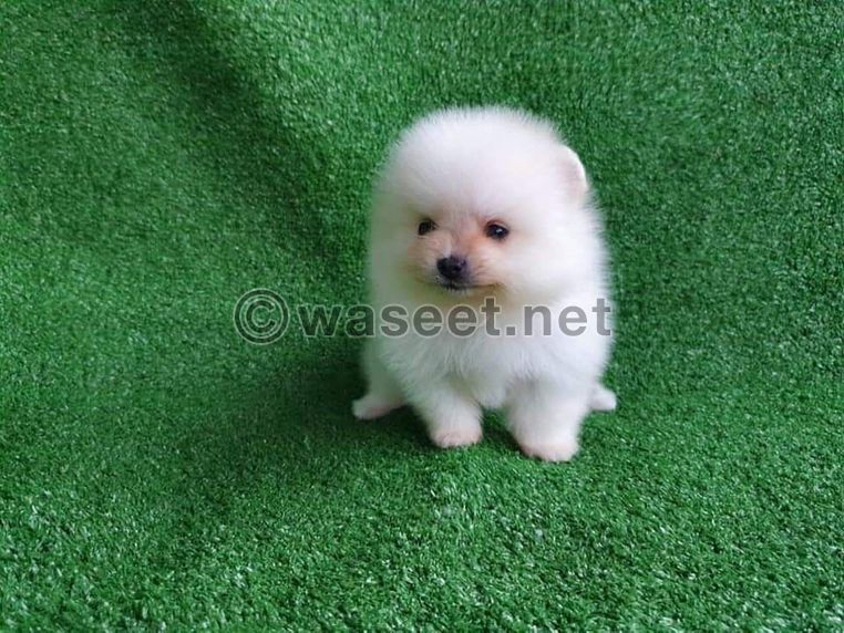 Cream and  white Poms puppys for sale 1