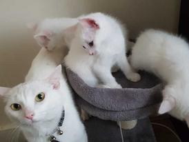 Turkish Angora Kittens for sale 12