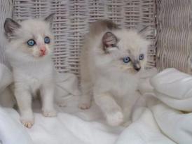Sweet Ragdoll Kittens for sale 15