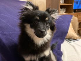 Pomeranian For Sale 0