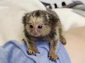 Adorable Finger  Marmoset  Monkeys for Sale 11