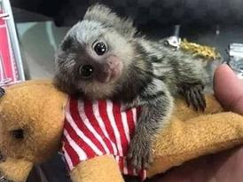 Friendly   Marmoset  Monkeys for Sale