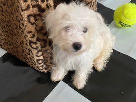 Cute pure breed Maltese for free adoption