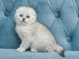 Healthy Scottish Fold Kittens 0