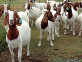 Pure breed Africa boer goat for sale in uae 3