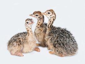 Ostrich birds / ostrich egg