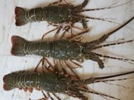 Fresh lobsters for sale 1