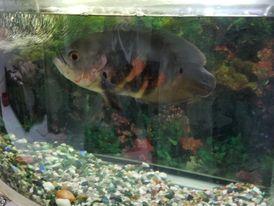 for sale Aquarium with oscar big beautiful fish 0