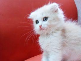 scotch cat for sale 5