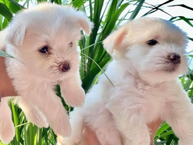 Two amazing Maltese puppies for sale