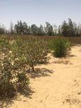 مزرعة زيتون ورمان بالقرب من الاسماعيلية الجديدة 2
