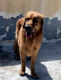 pure gold couler golden retriever male