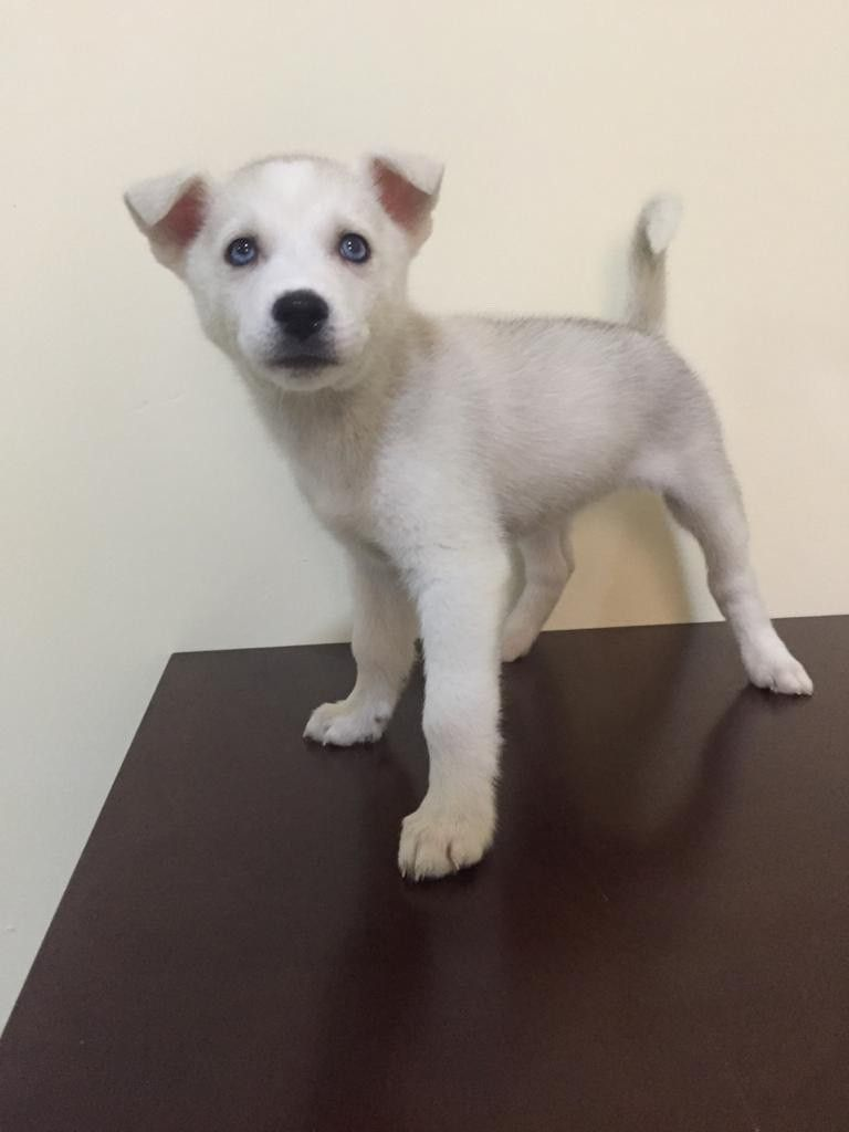 pure husky for sale