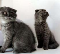 pure scottish fold kittens available