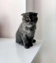 pure scottish fold kittens available 2