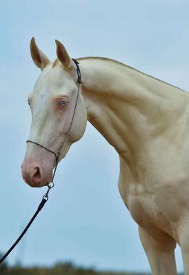rare horse for sale
