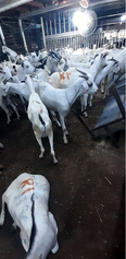 sheeps and goats available 1