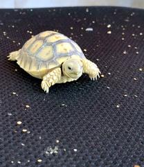 sulcata - Tortoise