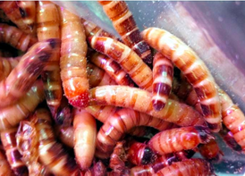 super worms and meal worms